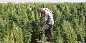 Liban przygotowuje się do legalizacji uprawy marihuany