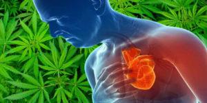 Konsumenci marihuany częściej przeżywają po zawale serca, niż osoby, które jej nie używają