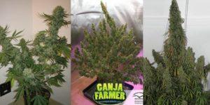 5 najpopularniejszych nasion marihuany 2018r.