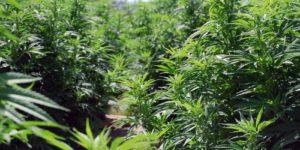 Włoska policja odkryła plantację marihuany należącą do mafii – łącznie 26.000 roślin