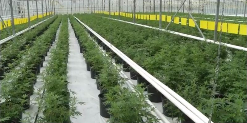World-Records-Of-Cannabis-1