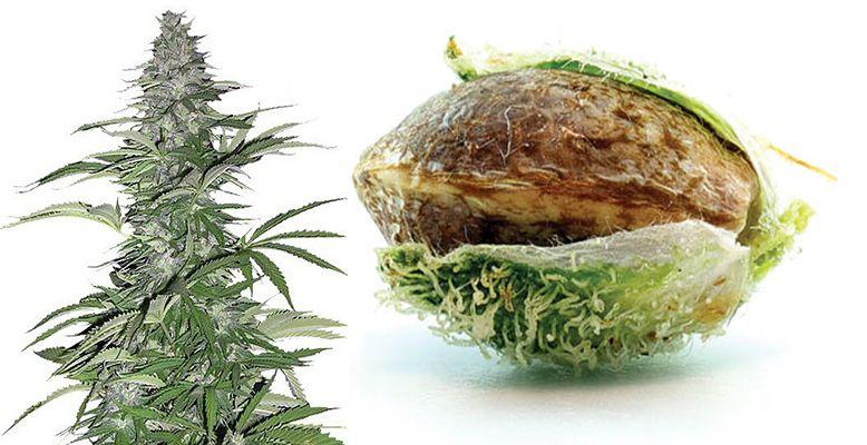 Jak przechowywać nasiona marihuany