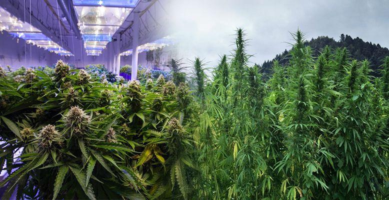 Różnice między nasionami mariuhany indoor a outdoor