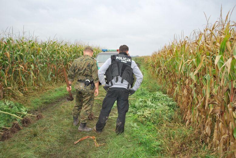 Policjanci przy plantacji marihuany w polu kukurydzy