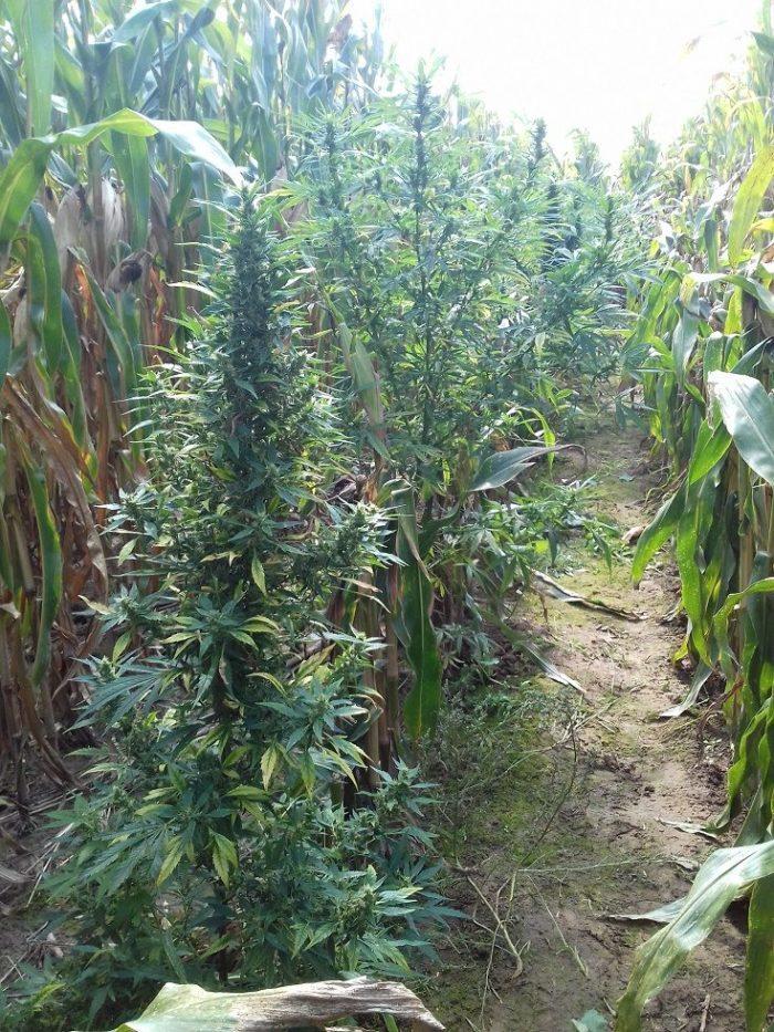 Uprawa marihuany w polu kukurydzy