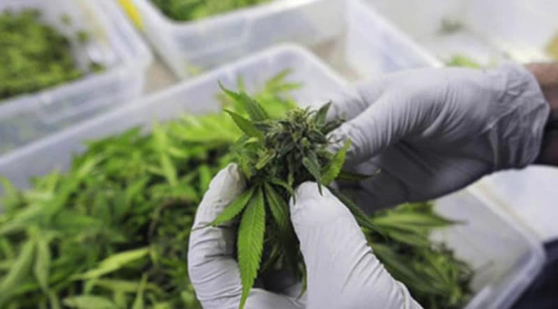 Tajska policja przekazała naukowcom 100kg marihuany do badań