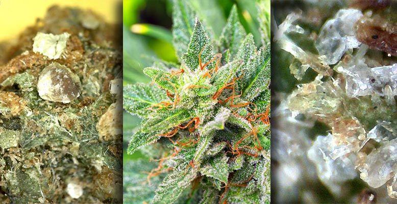 Zanieczyszczona marihuana to jeden z negatywnych efektów zakazu marihuany