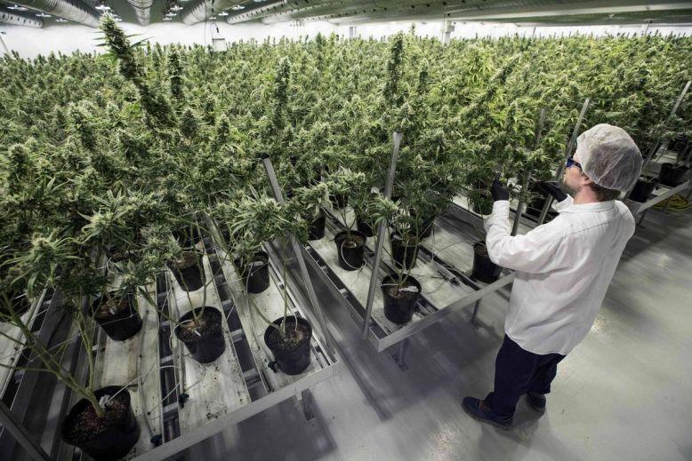 Producenci medycznej marihuany skupiają się na Europie