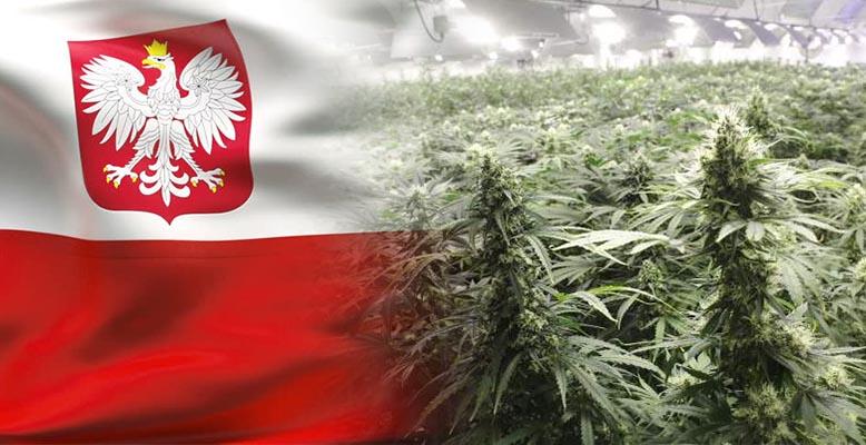 Powstaną narodowe uprawy medycznej marihuany w Polsce
