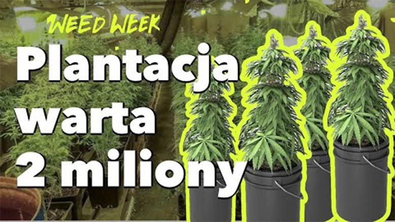 Plantacja marihuany warta 2 miliony złotych