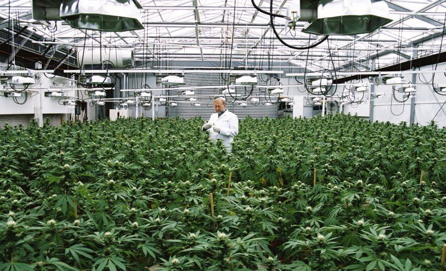 Przetarg na uprawę medyczną marihuanę w Niemczech