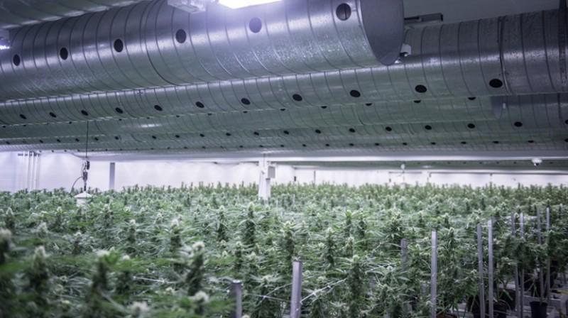 Uprawa medycznej marihuany w Odense