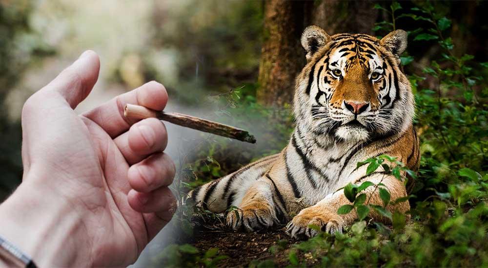 Mężczyzna chciał zapalić jointa w puszczonym domu i znalazł w nim tygrysa
