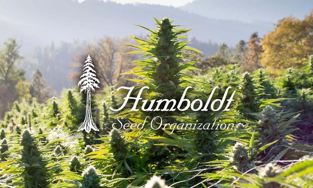 Najlepsze nasiona od Humboldt Seeds na outdoor
