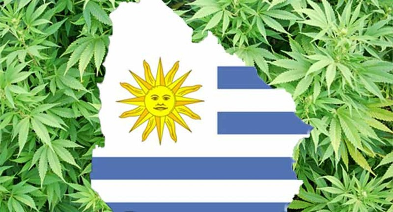 Legalizacja marihuany w Urugwaju okazała się sukcesem