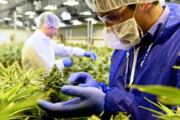 Uprawa medycznej marihuany w standardzie EU-GMP
