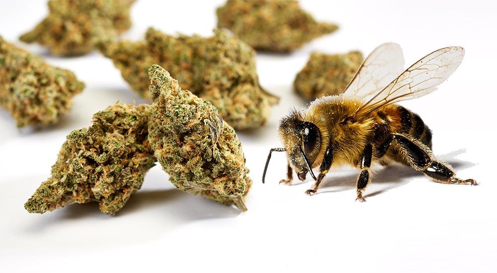 Pszczoły uwielbiają konopie. Uprawy konopi siewnych są źródłem pokarmu dla pszczół miodnych i innych gatunków pszczół