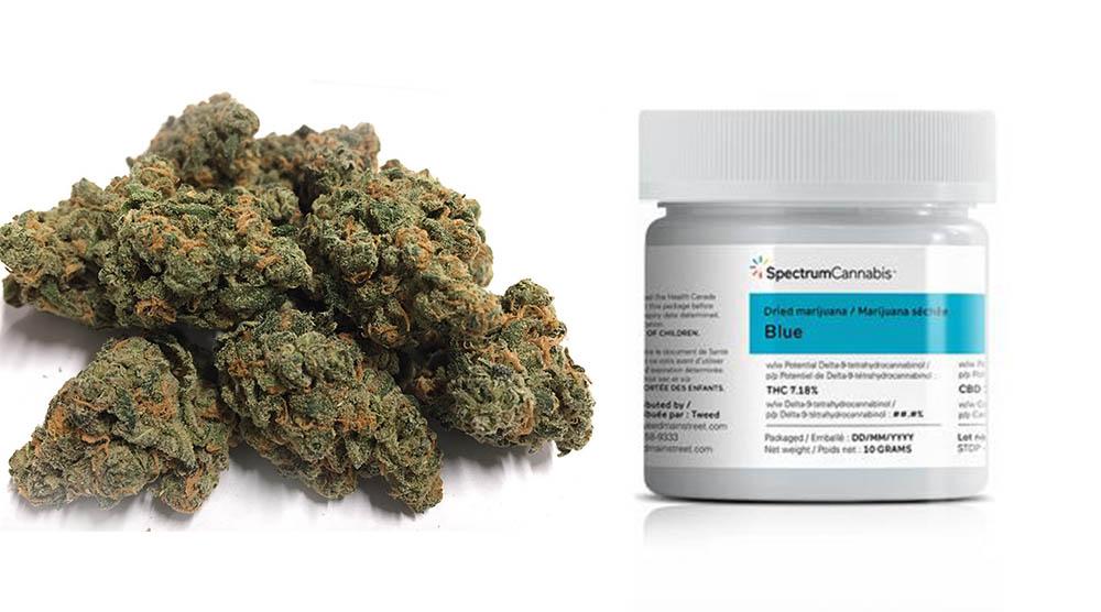 Nowa odmiana medycznej marihuany w Polsce od Spectrum Cannabis - Blue Flower