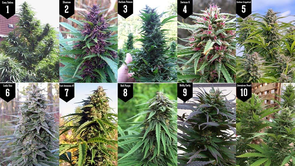 10 najlepszych odmian marihuany sativa
