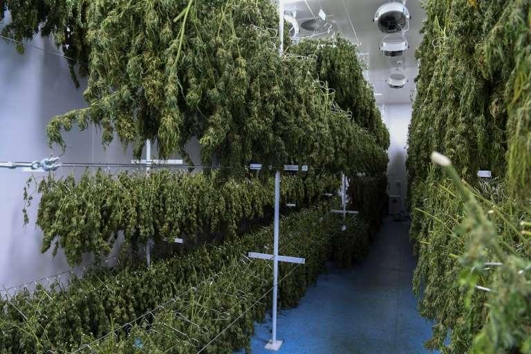 Zbiory medycznej marihuany w Urugwaju