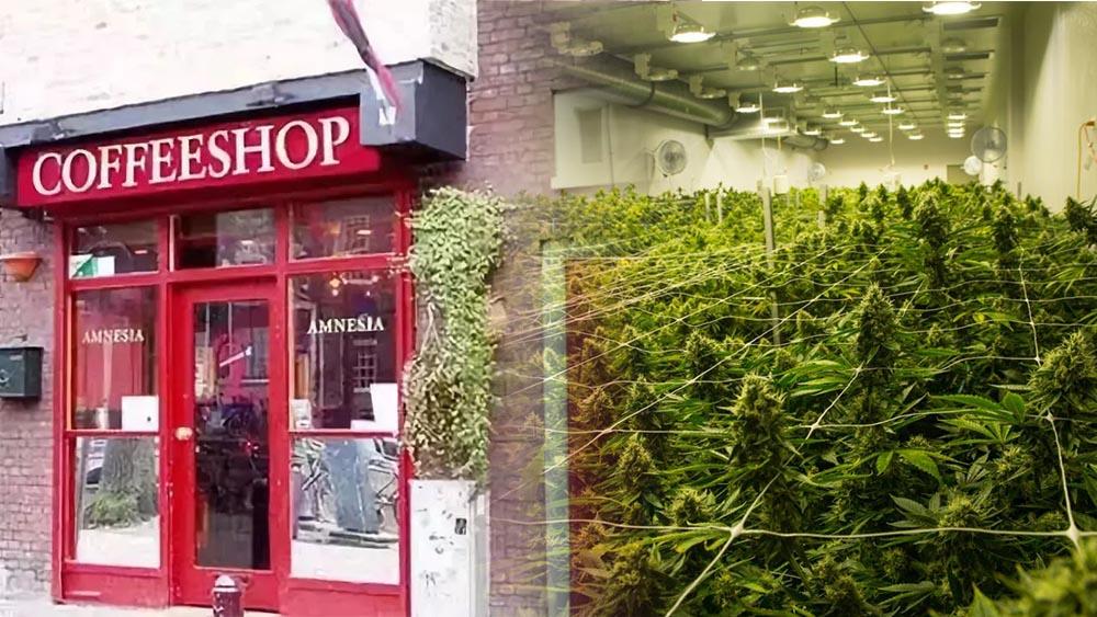 Holandia może zalegalizować uprawę marihuany do celów rekreacyjnych