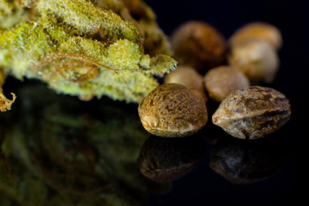 Regularne nasiona marihuany