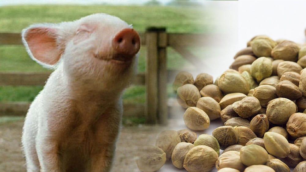 Nasiona konopi poprawiają odporność prosiąt i świń