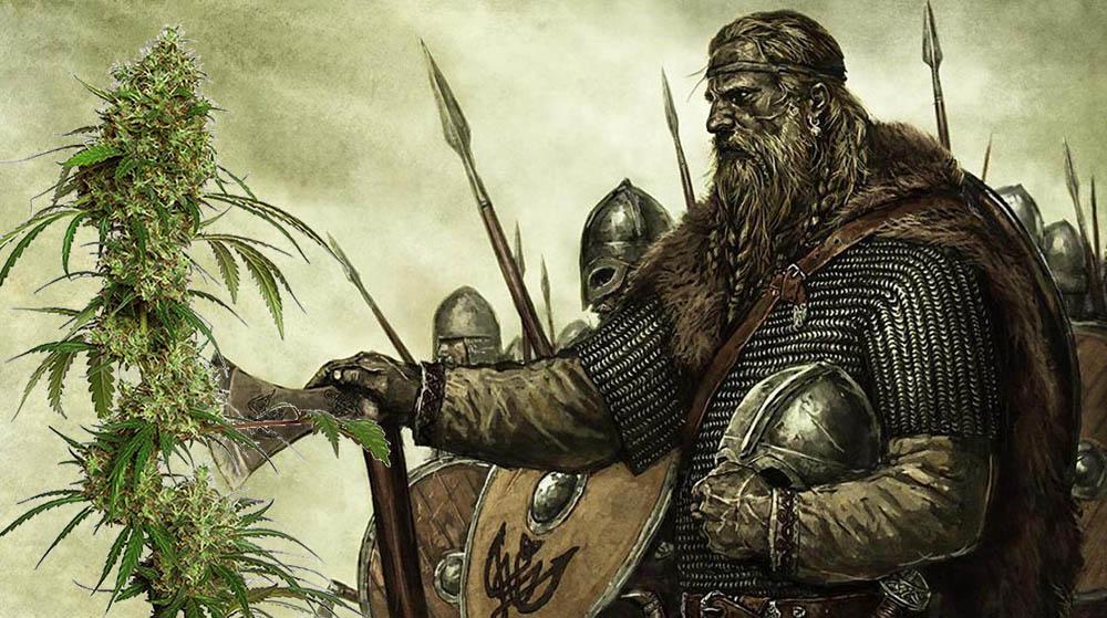 Czy wikingowie palili marihuanę podczas odkrywania Nowej Funlandii?