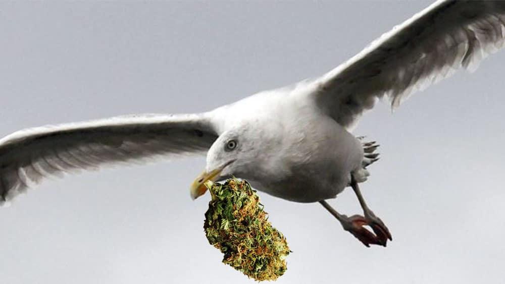 Mężczyzna uniknął aresztowania, kiedy mewa ukradła jego marihuanę