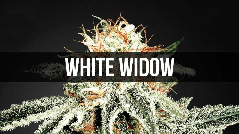 White Widow - historia legendarnej odmiany marihuany