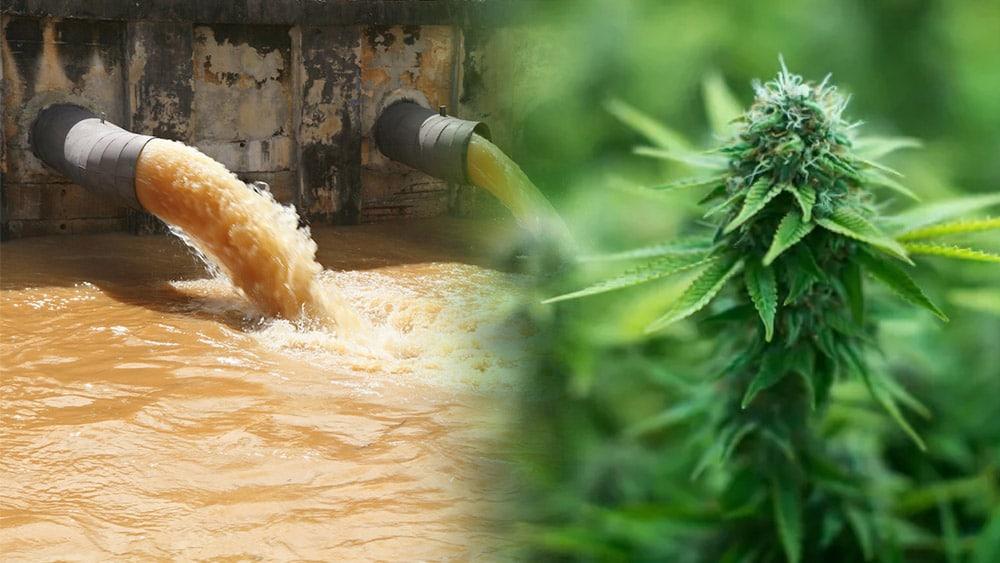 Kanada bada ścieki, aby oszacować spożycie marihuany