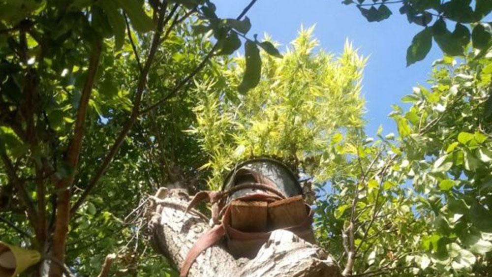 Uprawa konopi indyjskich na drzewie
