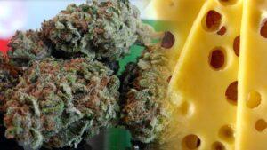 Cheese - historia powstania odmiany marihuany o zapachu sera
