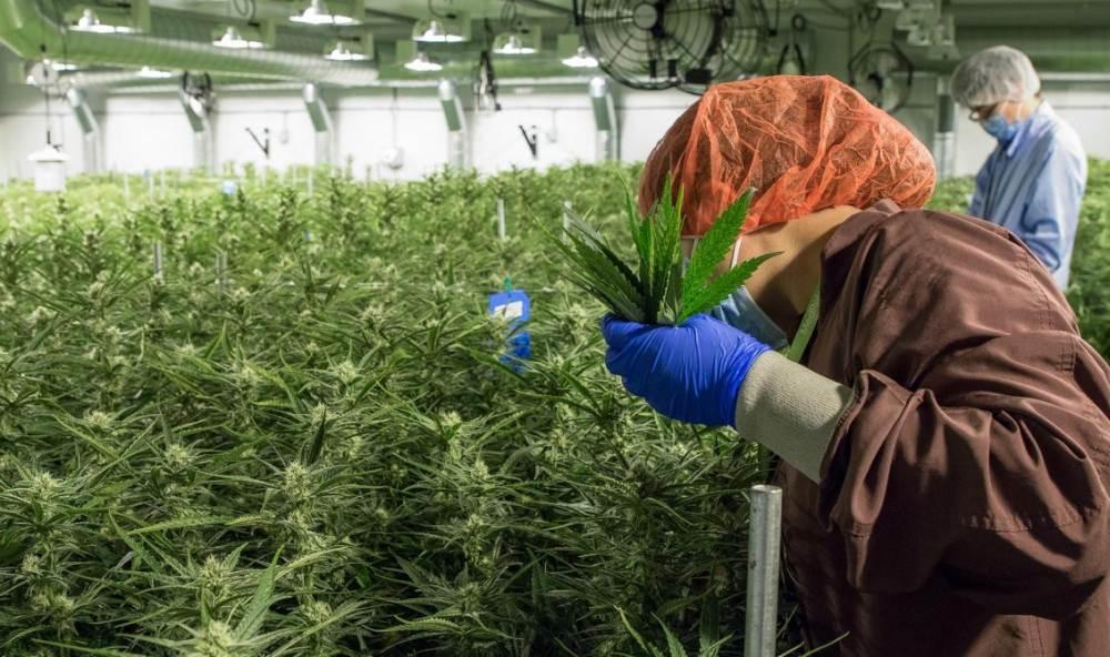 Legalna marihuana wygenerowała prawie 250,000 nowych miejsc pracy