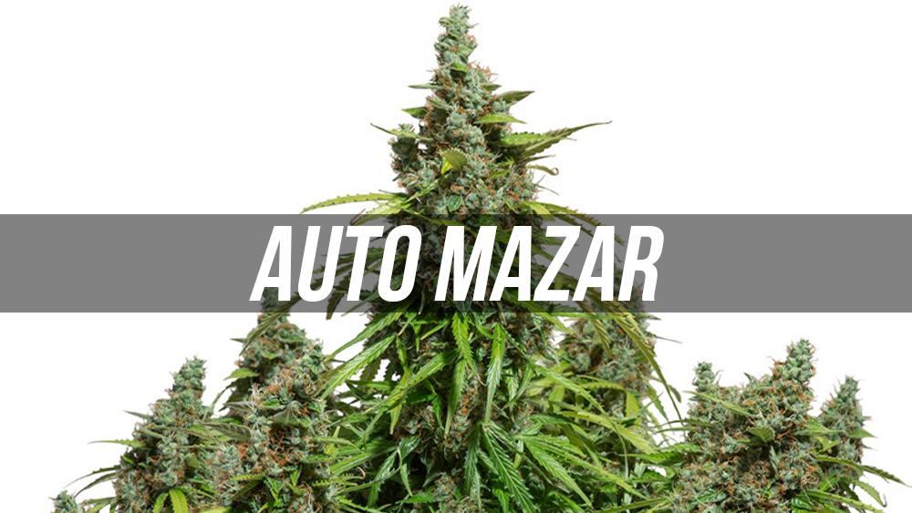 Auto Mazar - nasiona marihuany od Dutch Passion