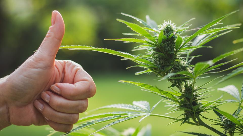 Czy marihuana może być lekiem na zapalenie płuc spowodowane COVID-19?