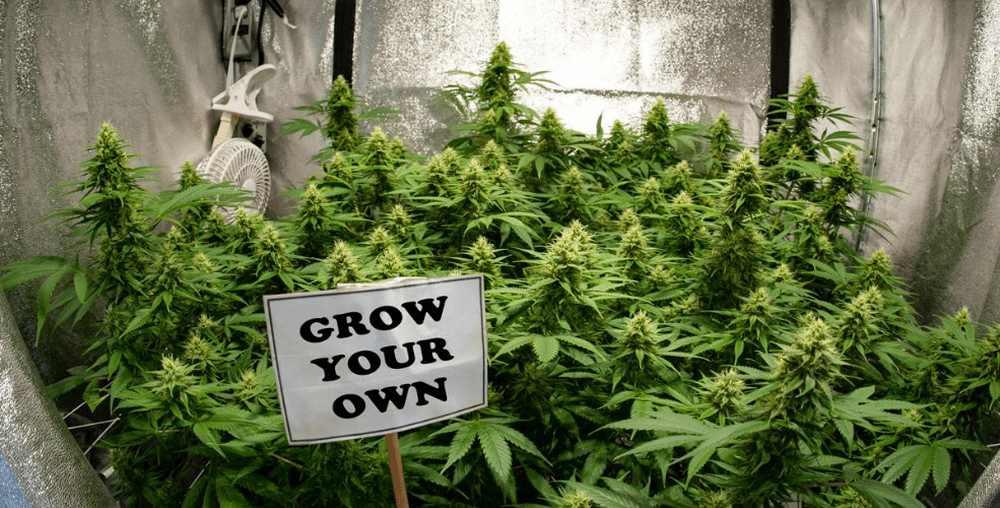 Argentyna zezwoli na uprawę medycznej marihuany w domu